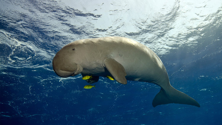 Komodo National Park, A New Experience diving Komodo island with giant mantas, whales, or dugong if you lucky